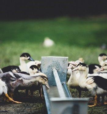 Les différents modèles d'élevage de canards fermiers et production