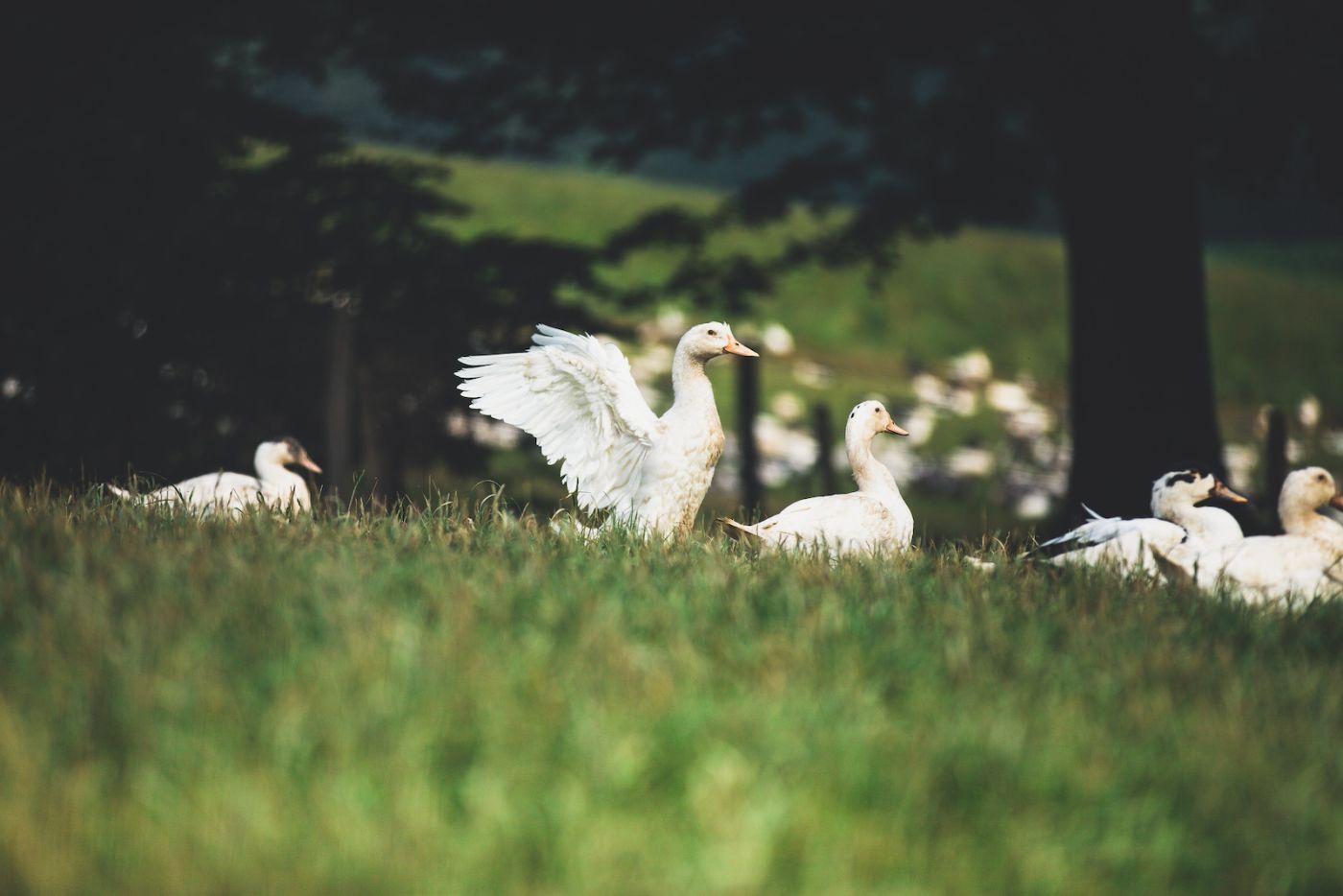 Les canards de la ferme Uhartia